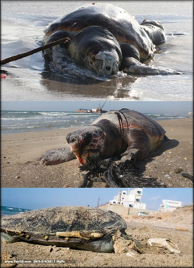 שלושה צבים מתים