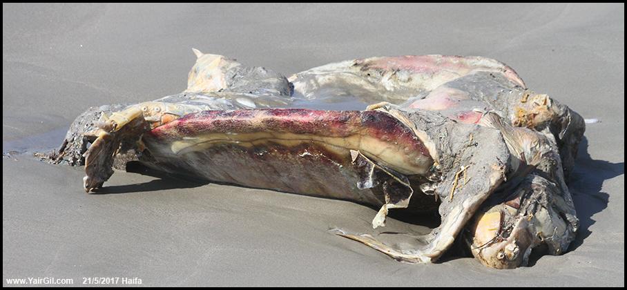צב ים מת שלישי בתוך 48 שעות על פיסת חוף קטנה