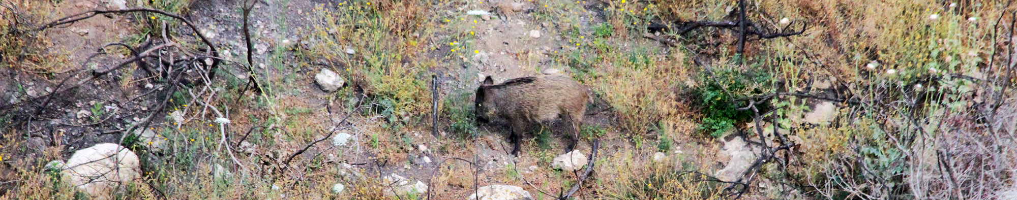במורדות הכרמל חזירים רבים. דוגמא