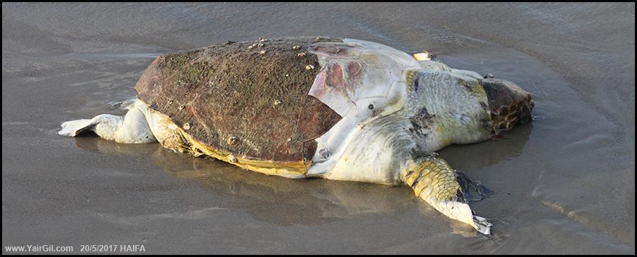 צב ים מת