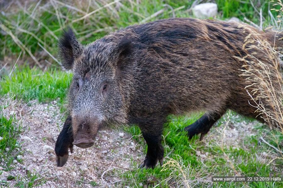 חזיר בר חיפאי