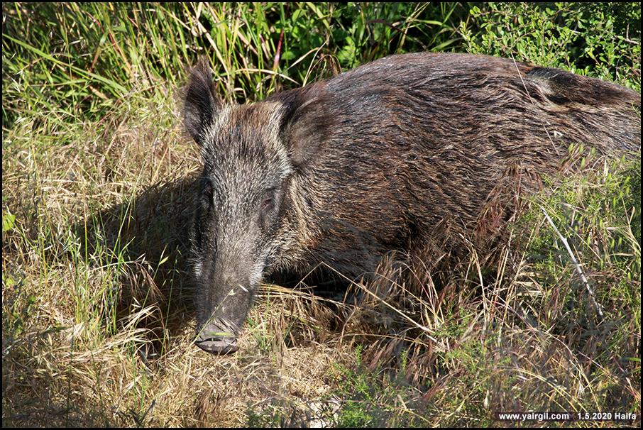 חזירת בר חיפאית