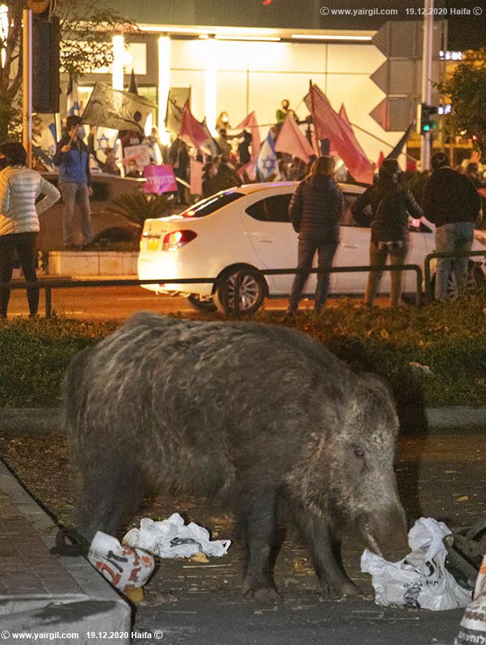 חזיר בר חיפאי בשולי ההפגנה נגד נתניהו