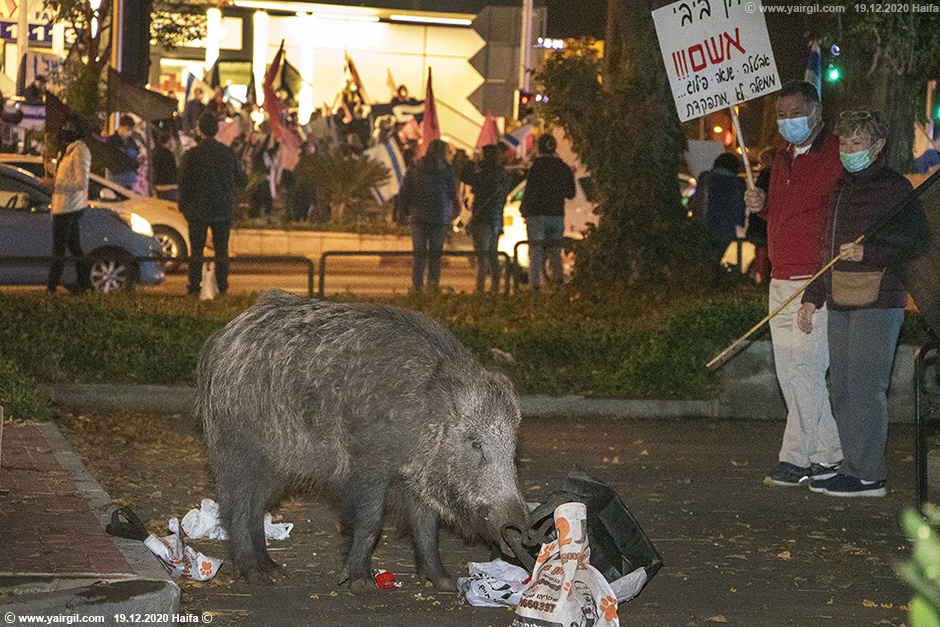 חזיר בר מאחורי מאפיית אריאל בחיפה - מרכז חורב