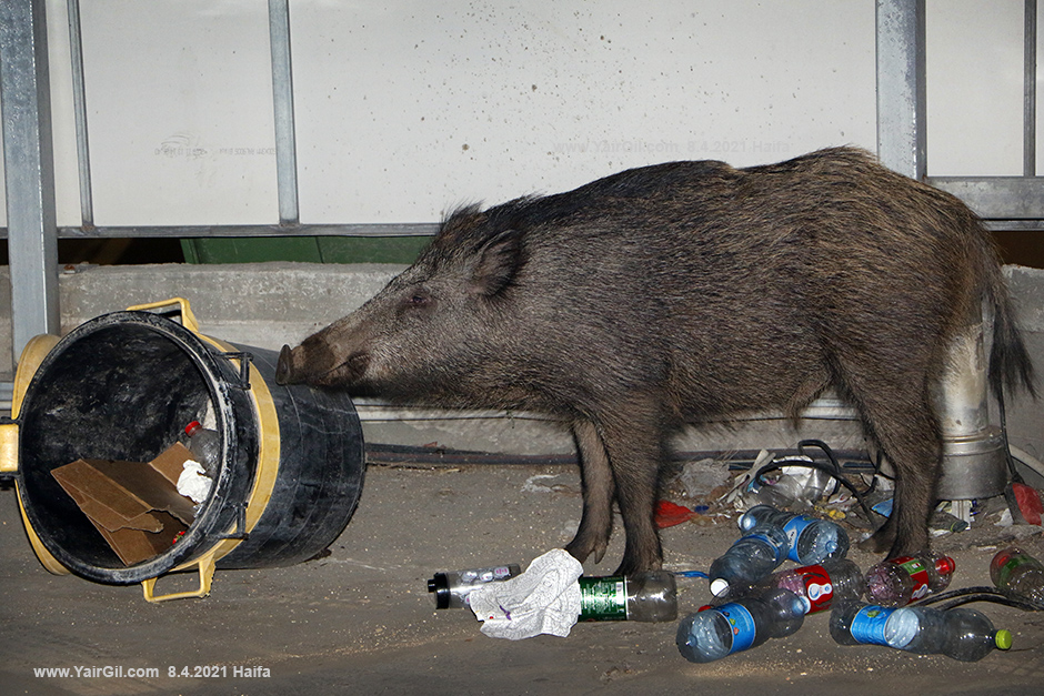 חזיר בר חיפאי מאוכזב