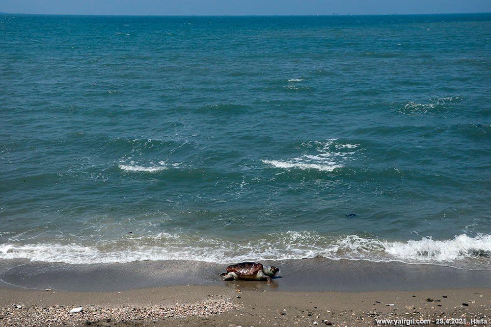 צב ים חום - עם זפת על הפנים