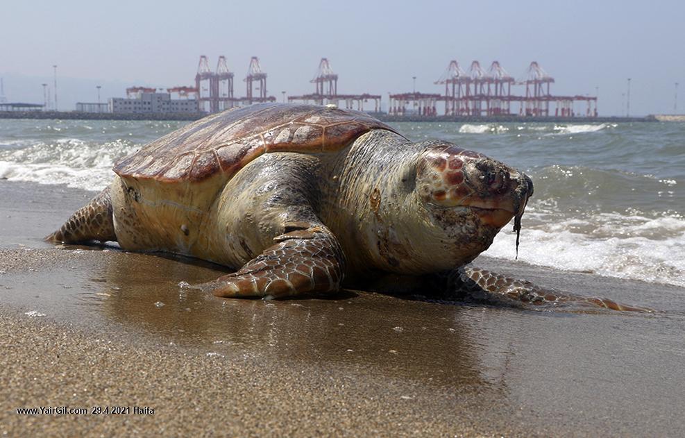 צב ים חום מת לגמרי