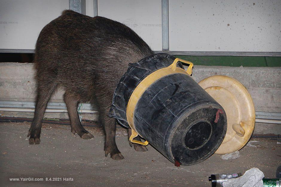 """חזב""""ר זה חזיר בר - עם הראש בפח"""