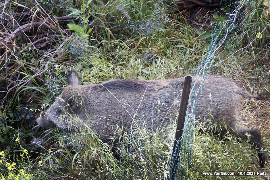 Wild pig in Haifa meadow חזיר בר בחיפה