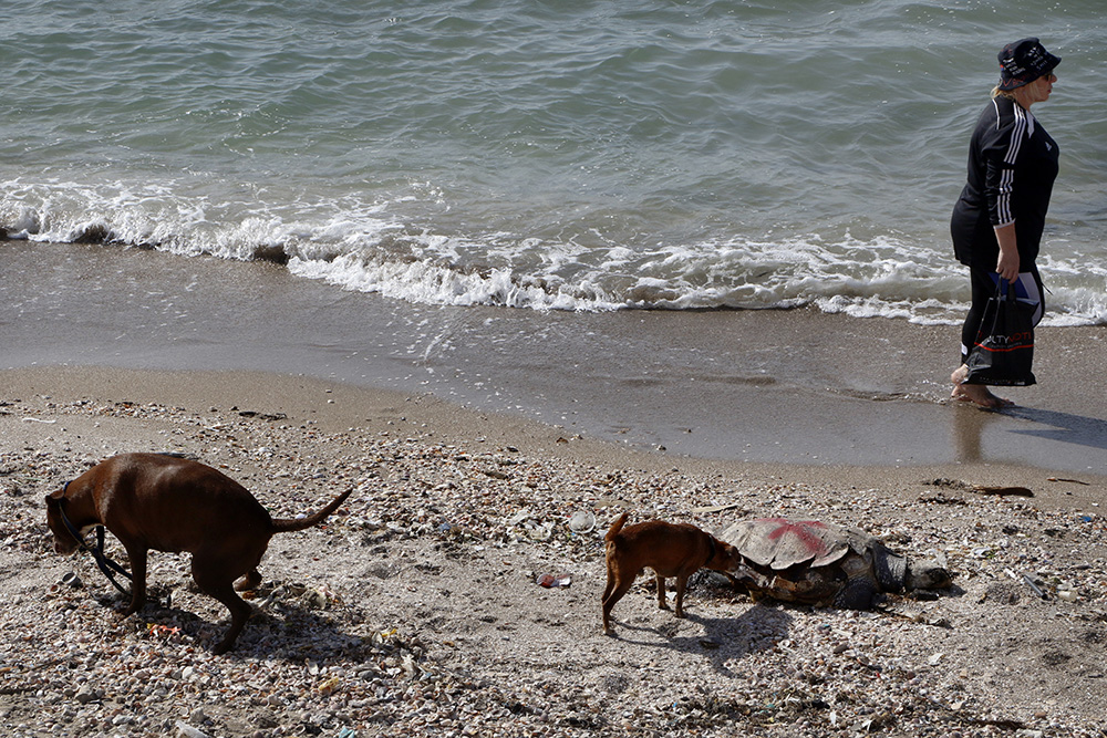 צבי ים מתים על רצועת חוף חיפאי