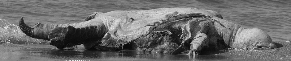 באנר צב ים בשחור לבן
