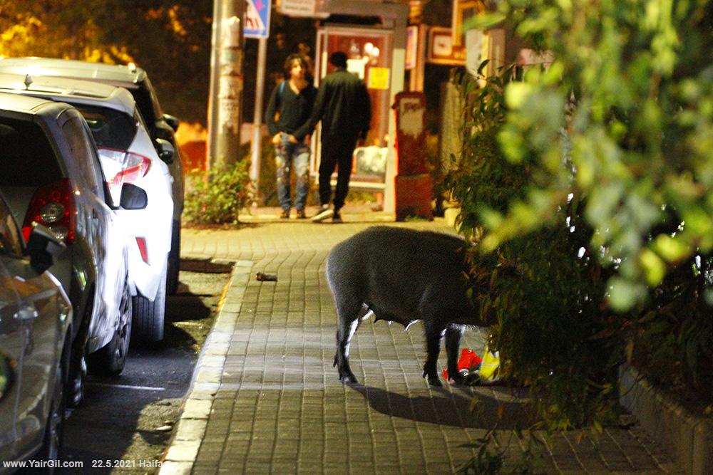 Wiled pig in Haifa