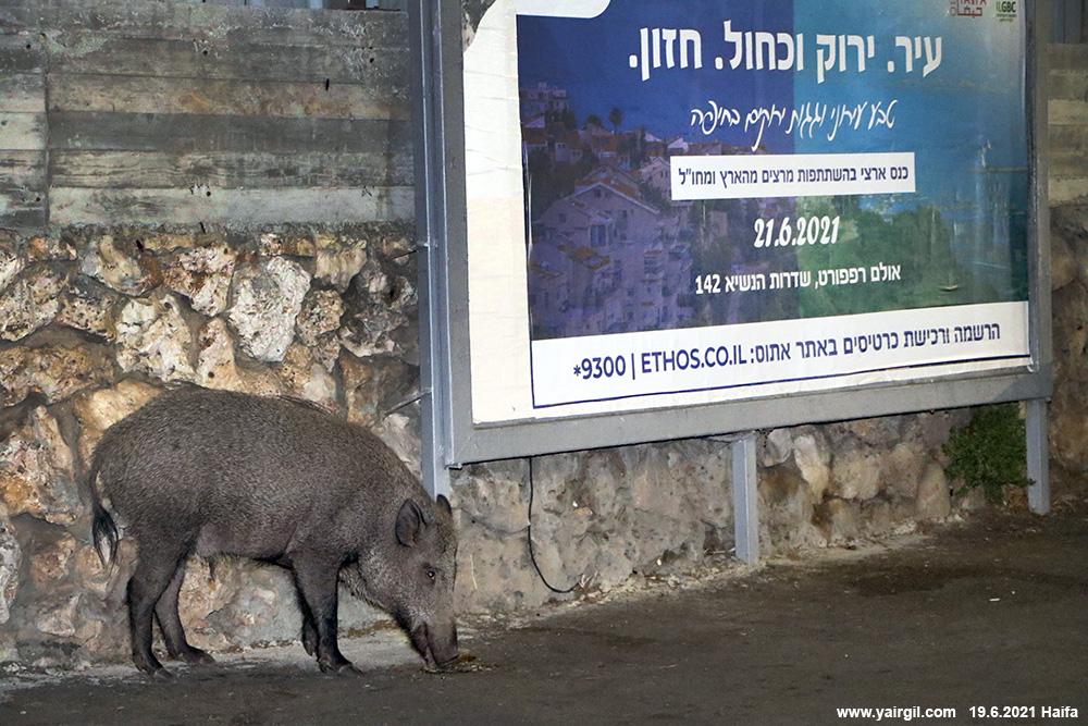 חזיר בר צעיר מחיפה