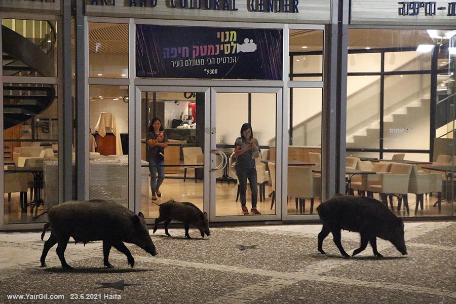 חזירי בר בכניסה לאודיטוריום במרכז הכרמל
