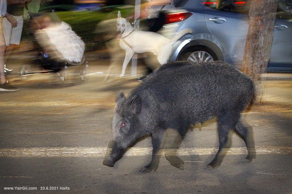 חזירת בר במרכז הכרמל