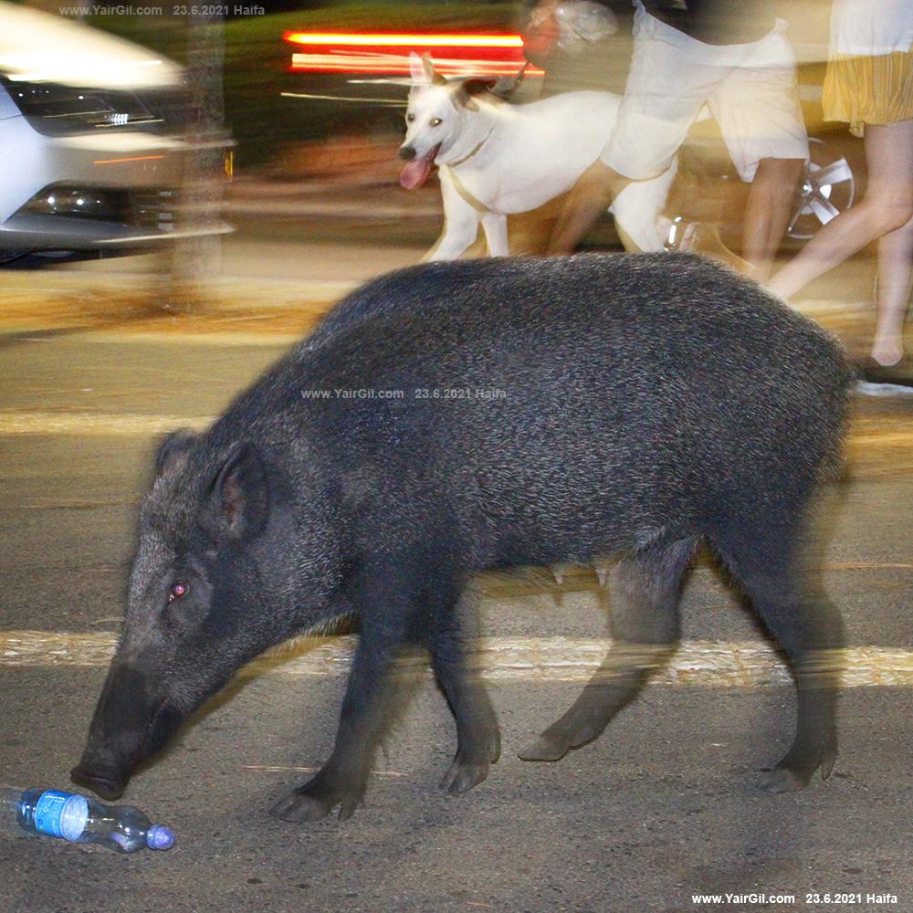 חזיר חזירת בר בחיפה
