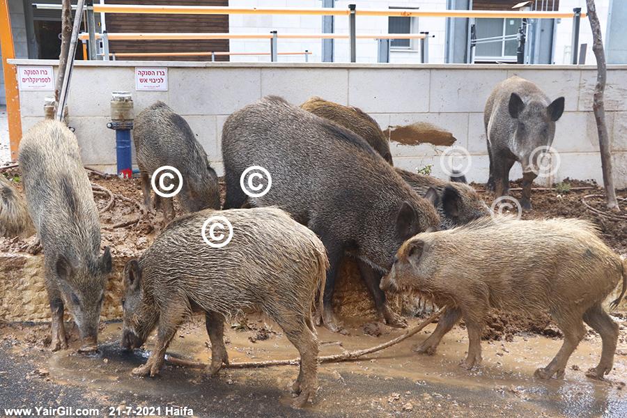 חזירי בר משמידים גינה ברחוב הירקון בחיפה