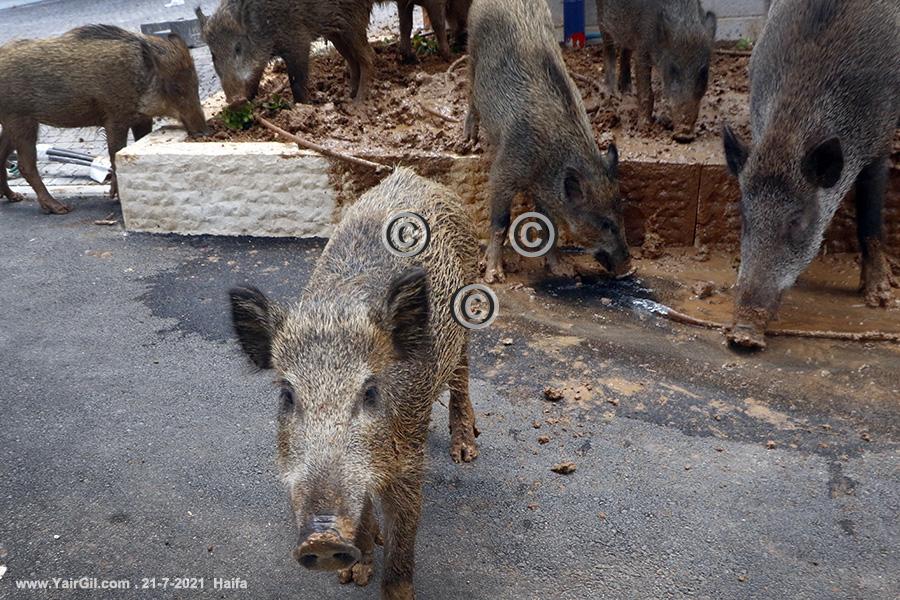 חזירי בר בגינה