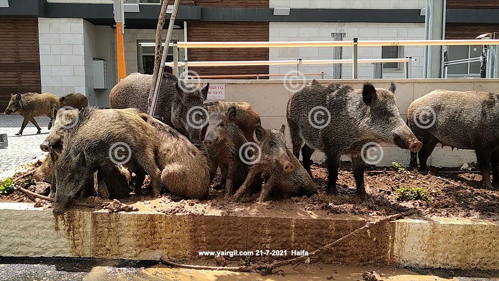חזירי בר בחיפה (משמידים גינה)