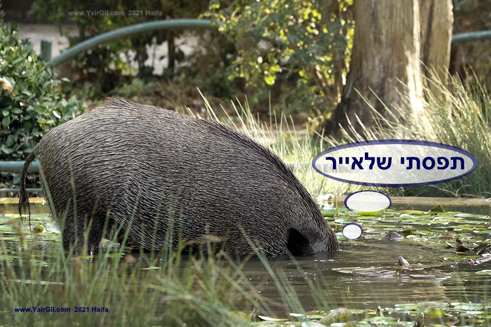 חזיר בר צולל לברכה בגן שמואל
