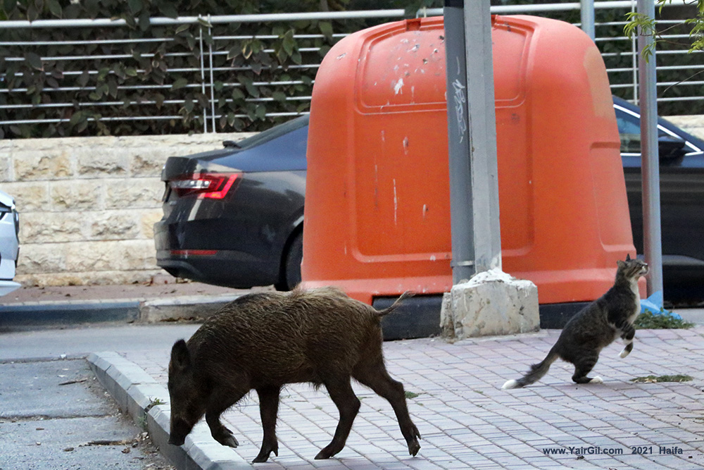 Young wild pig in Haifa 2021