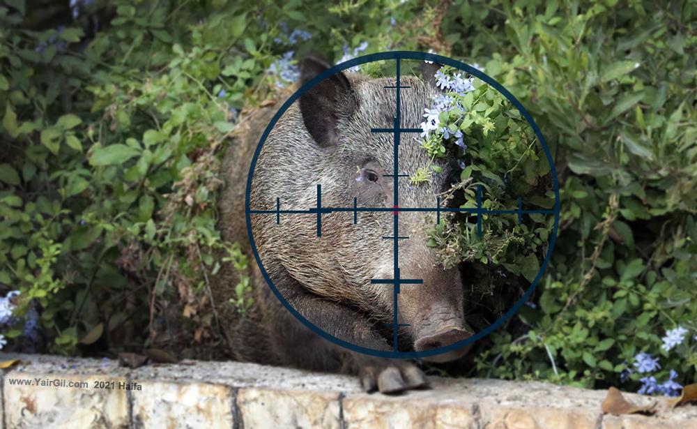 דילול חזירי הבר על הפרק. כיצד יהרגו אותם איפה ומתי?