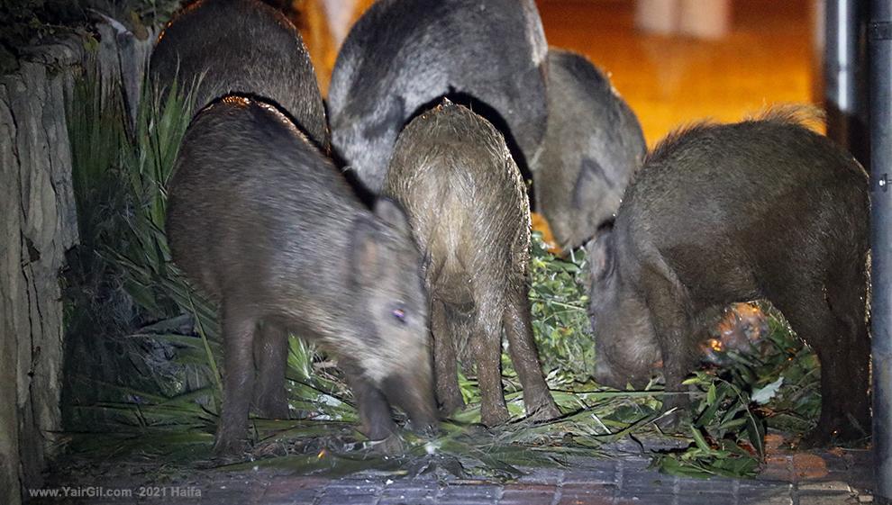 חזירי בר בחיפה אוכלים על המדרכה
