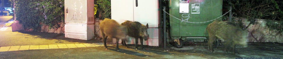 חזירי בר חיפאים בסביבה