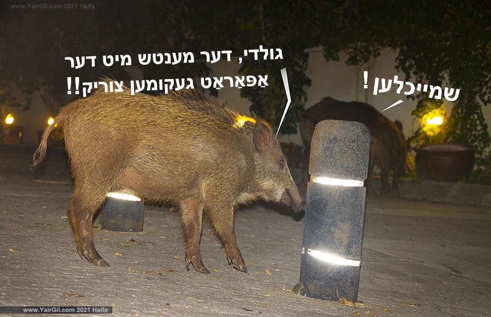 חזירי בר ביידיש. חיפה 2021