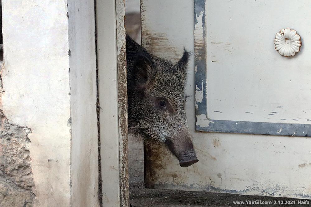 חזיר בר חיפאי משתמש בדלת